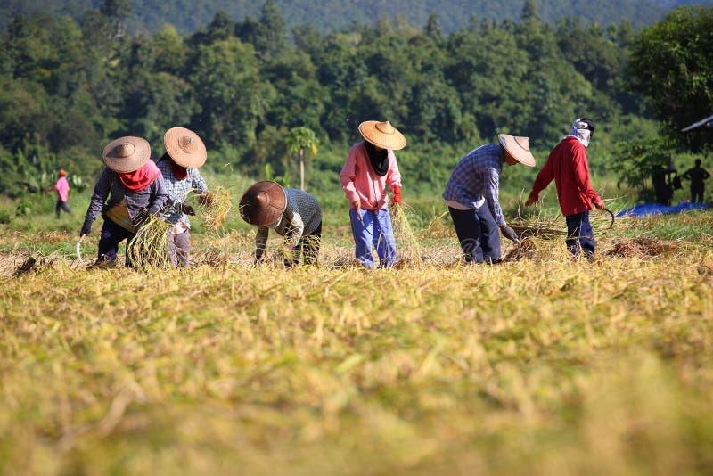 Riso di taglio del coltivatore in risaia immagine stock libera da diritti