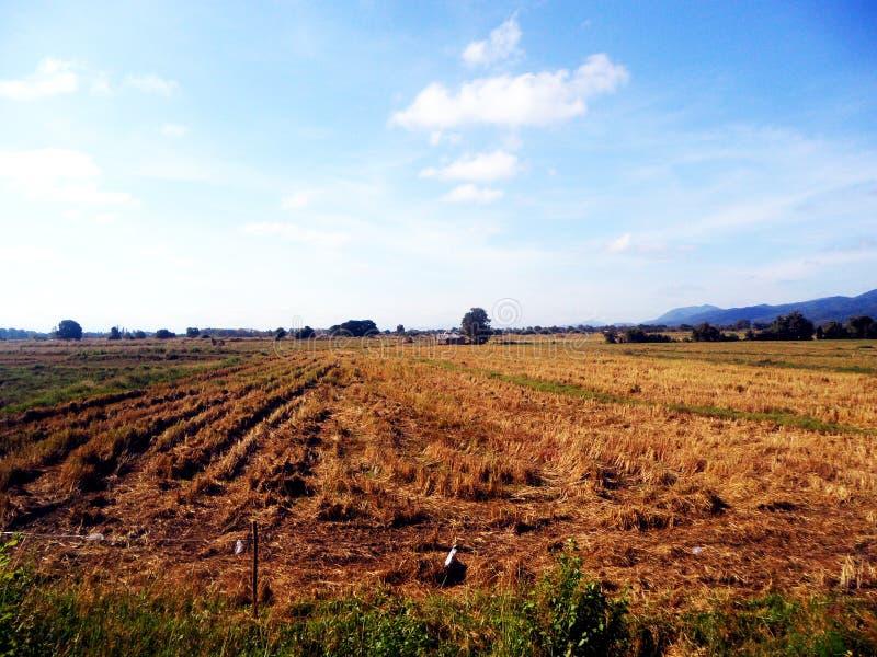 Riso di taglio della manodopera agricola fotografia stock