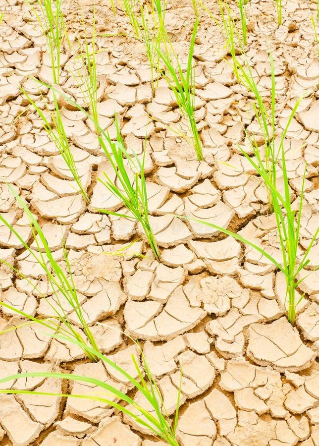 Riso sul campo di siccità fotografie stock libere da diritti