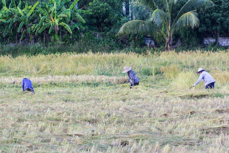 Riso tailandese di Harvest dell'agricoltore nel campo fotografie stock