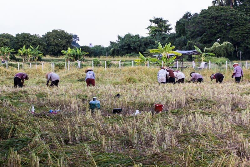 Riso tailandese di Harvest dell'agricoltore nel campo immagini stock