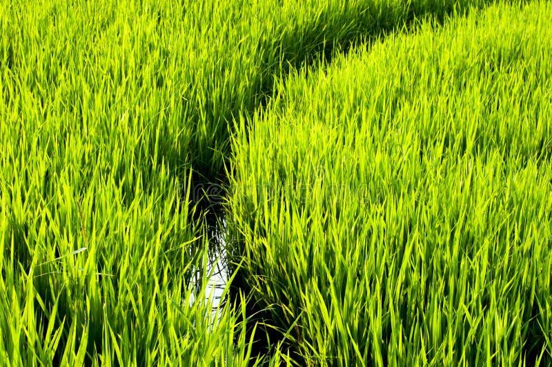Riso verde del campo fotografie stock