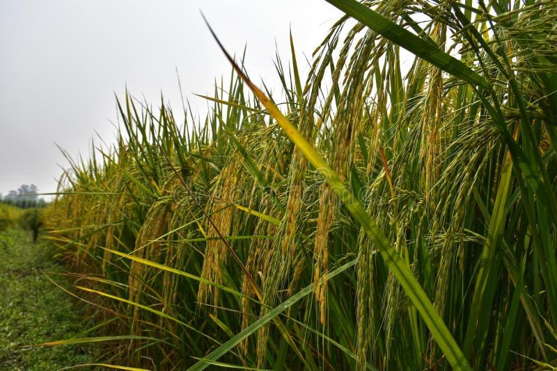 Risodlingsfält under mognad arkivfoton