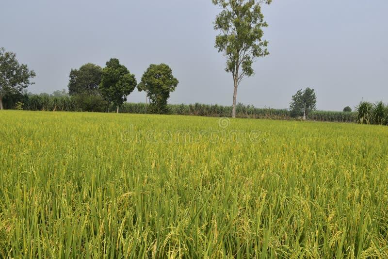 Risodlingsfält under mognad arkivfoto