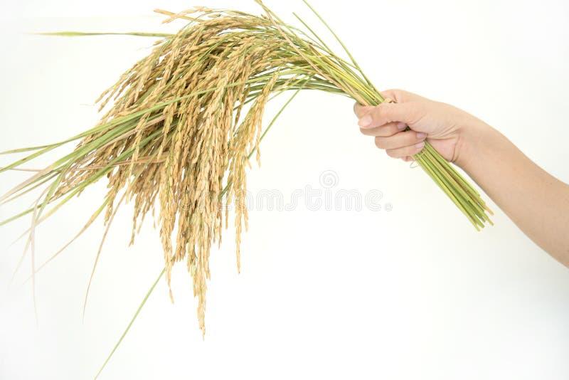 Risone, rendimento del grano del riso fotografia stock libera da diritti