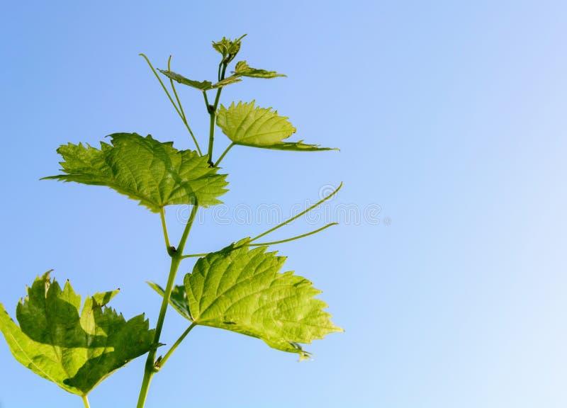 Rispettando le foglie di vite dell'uva su un gambo della vite la vite sta correndo orizzontalmente attraverso l'immagine, le fogl immagini stock libere da diritti
