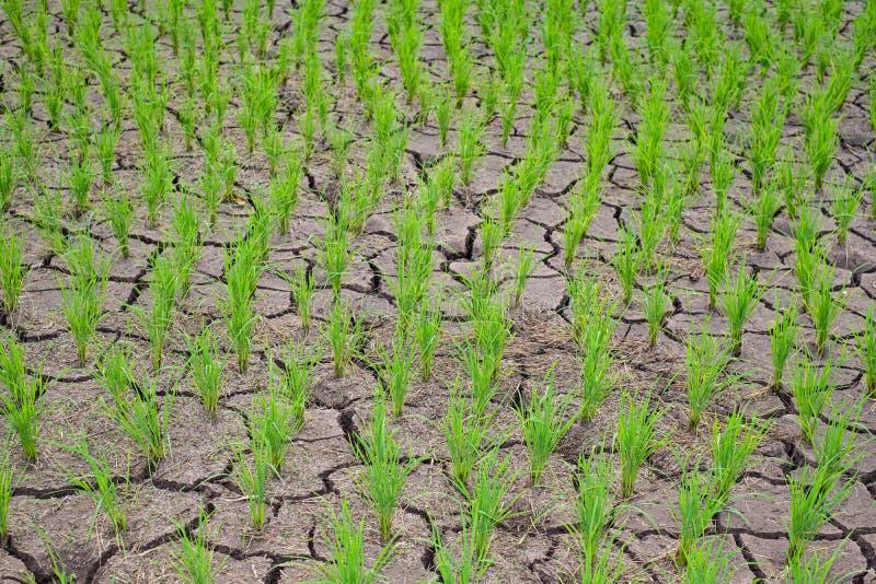 Risplantor i risfältfältet som växer racked och torr jord i ointressant områdeslandskap arkivfoton