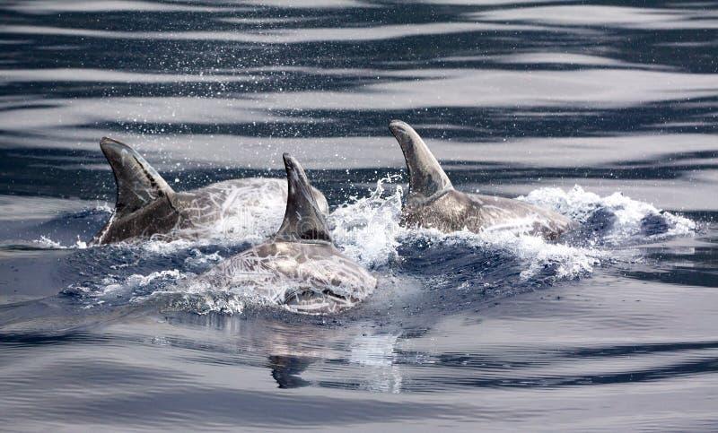risso δελφινιών στοκ φωτογραφίες