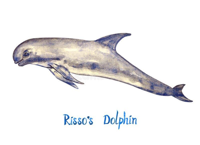 Risso ` s delfin, odizolowywający na białym tle royalty ilustracja