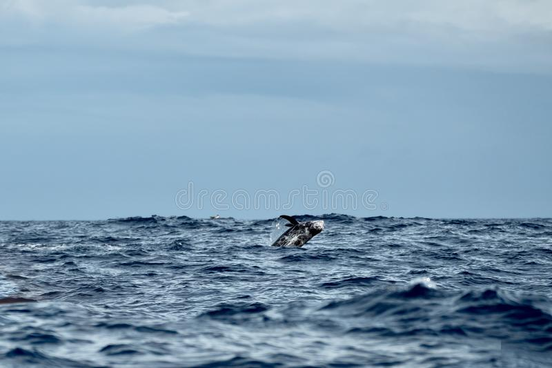 Risso'sdolphin breaching. A Risso's dolphin leaps from rough sea stock photos