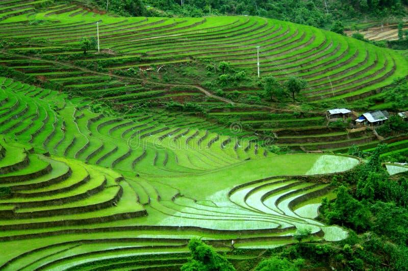 Risterrassfält i Tay Bac, Vietnam royaltyfria foton