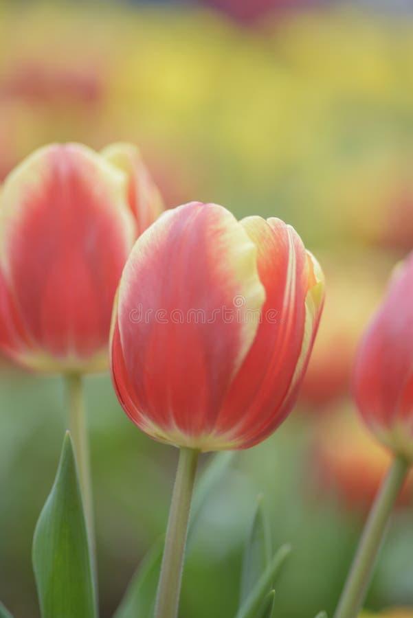 Ristorazione di tulipani rossi su uno sfondo luminoso immagini stock libere da diritti