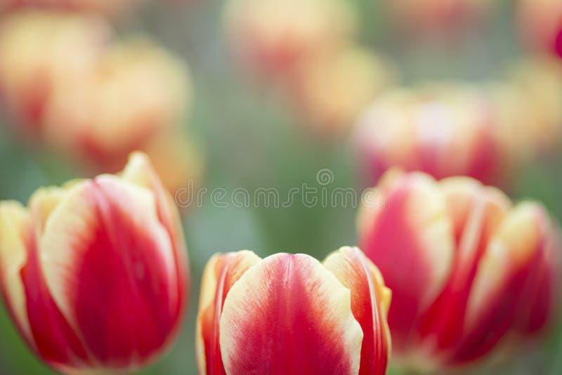 Ristorazione di tulipani rossi su uno sfondo luminoso fotografie stock libere da diritti