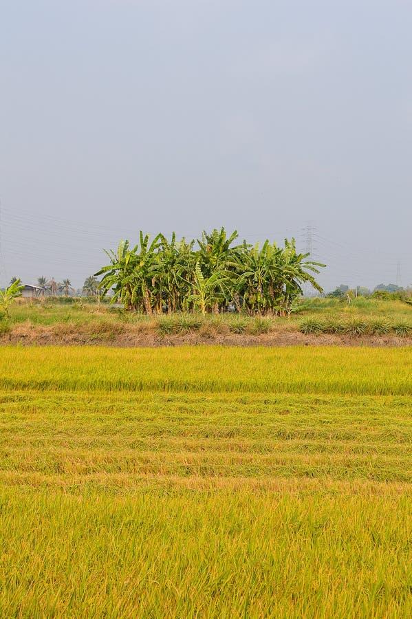 risträd i grönt fält arkivfoto