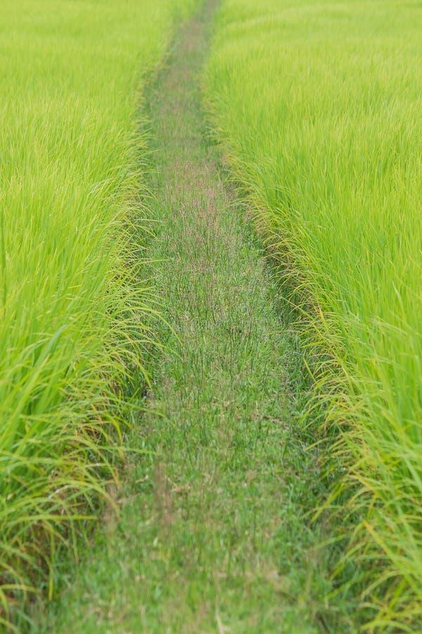 Risväxt arkivfoton