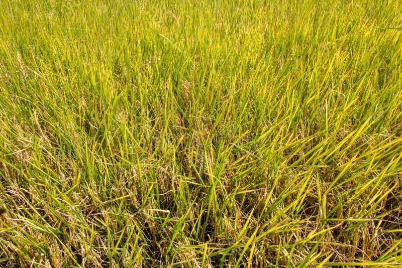 Risväxt i risfältfältet som är klart att skörda arkivfoto