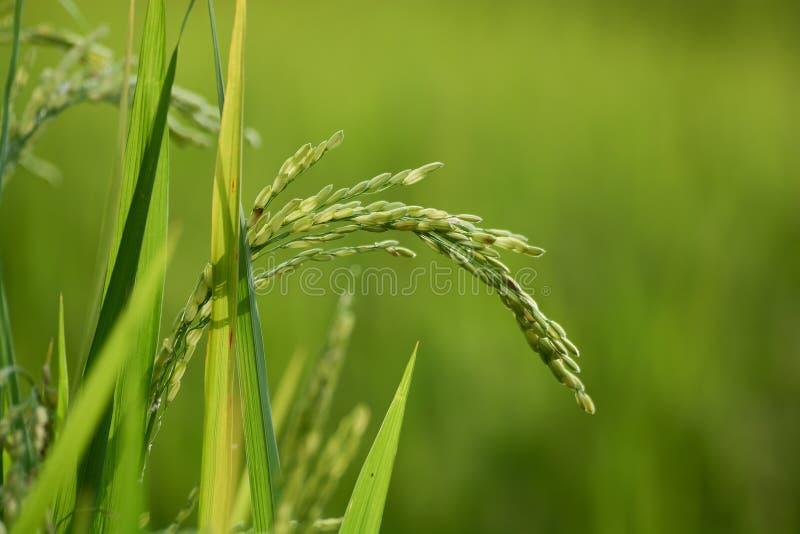 Risväxt med korn royaltyfri foto
