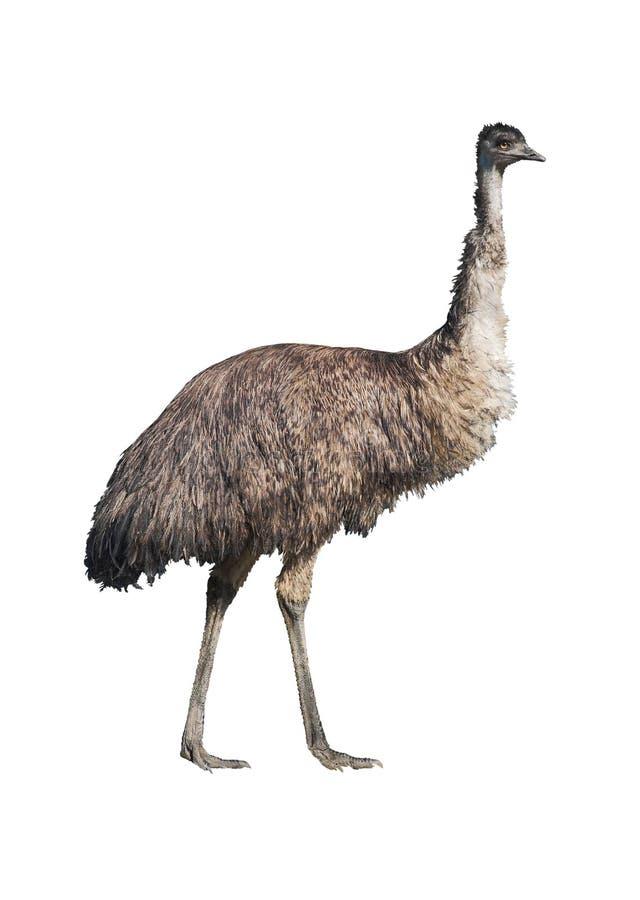 Ritaglio del Emu immagini stock