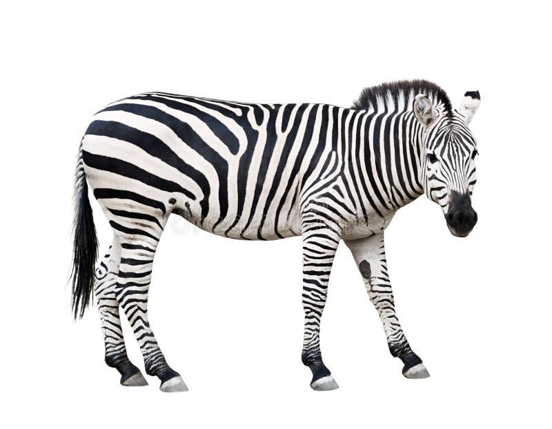 Ritaglio della zebra immagini stock libere da diritti