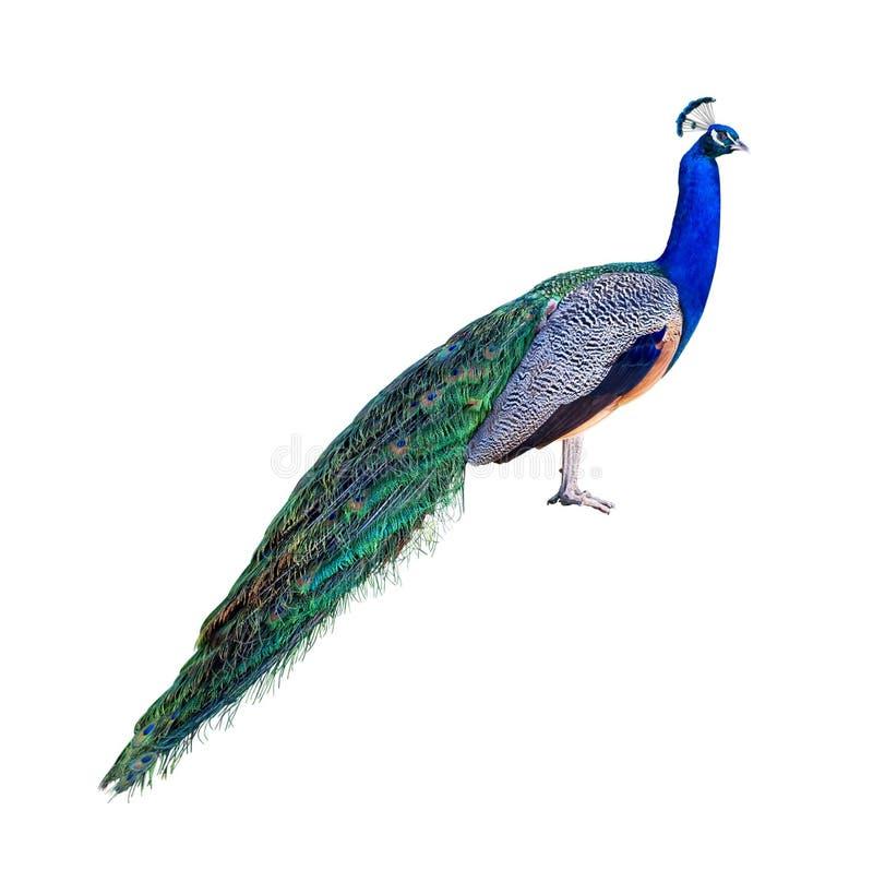 Ritaglio di profilo del pavone fotografia stock libera da diritti