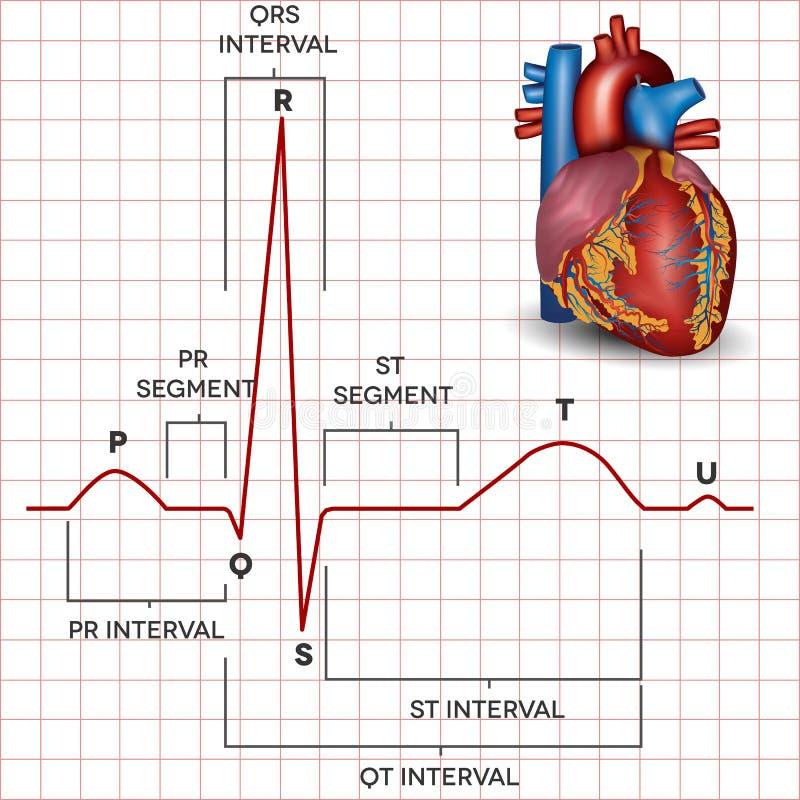 Ritmo normal del sino del corazón humano y anatomía del corazón libre illustration