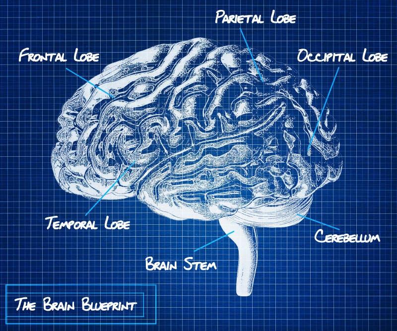 Ritningen för mänsklig hjärna royaltyfri illustrationer