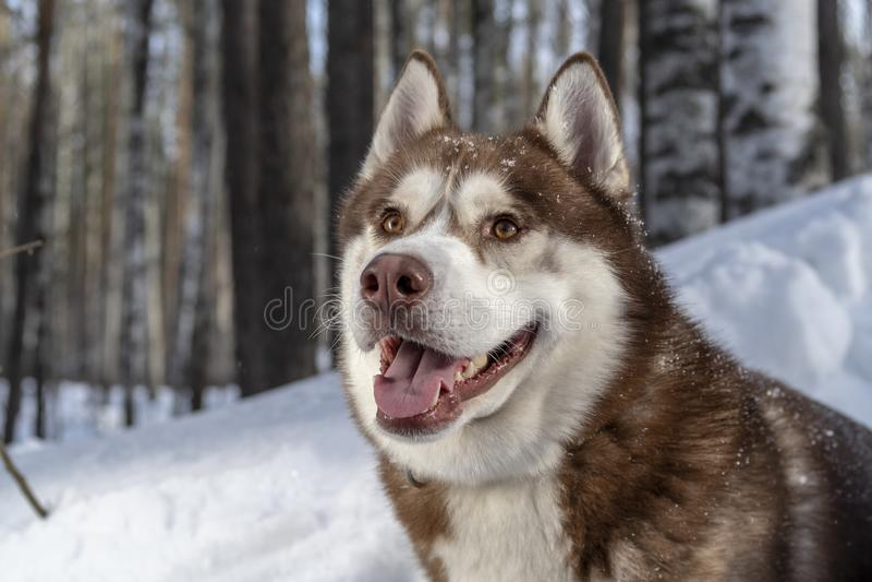 Ritratto adorabile del cane marrone sano e felice di stupore del husky siberiano nella foresta di inverno immagine stock libera da diritti