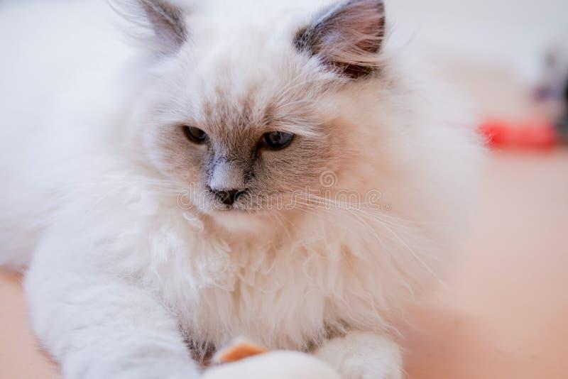 Ritratto adorabile del gatto del ragdoll con i bei colori e modelli fotografia stock