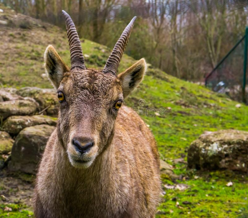 Ritratto adorabile di un fronte alpino femminile dello stambecco, capra selvaggia dalle montagne di Europa fotografia stock