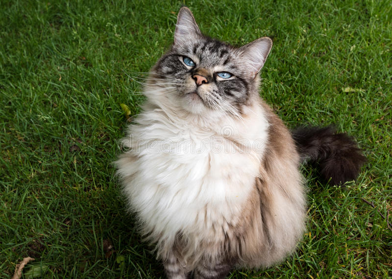 Ritratto adulto del gatto di Ragdoll fotografia stock libera da diritti