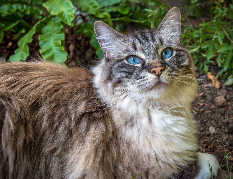 Ritratto adulto del gatto di Ragdoll & x28; Guarnizione Lynx Mitted Tabby& x29; immagine stock