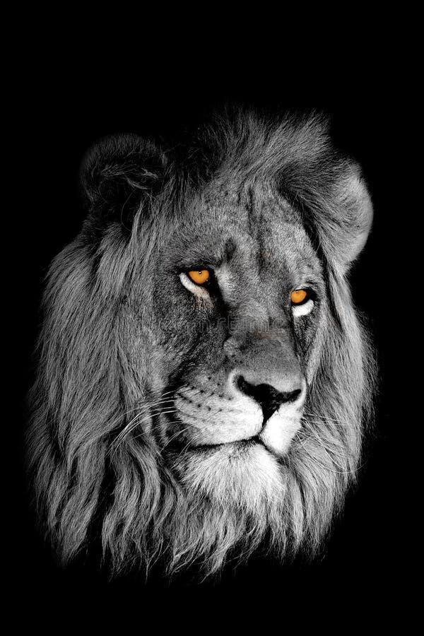 Ritratto africano del leone fotografie stock