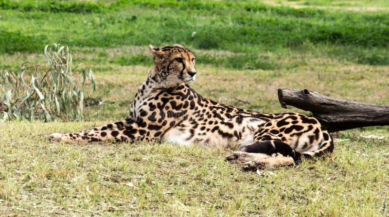 Ritratto all'aperto del gatto selvaggio del ghepardo africano che riposa sull'erba fotografie stock libere da diritti