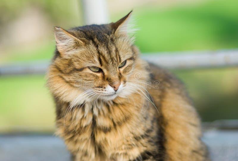 Ritratto all'aperto del gatto siberiano immagini stock