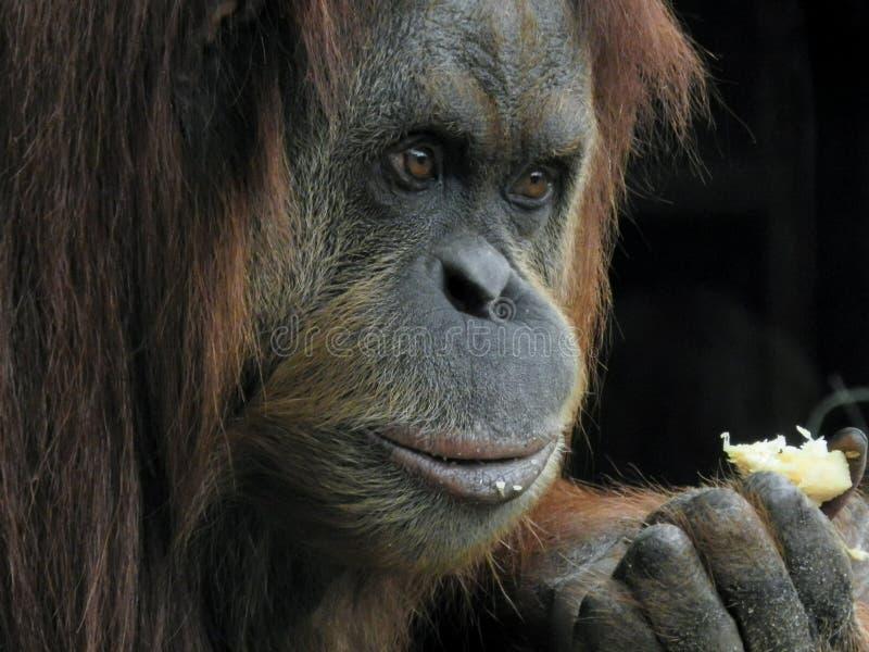 Ritratto alto vicino del fronte dell'orangutan mentre mangiando uno spuntino fotografia stock libera da diritti