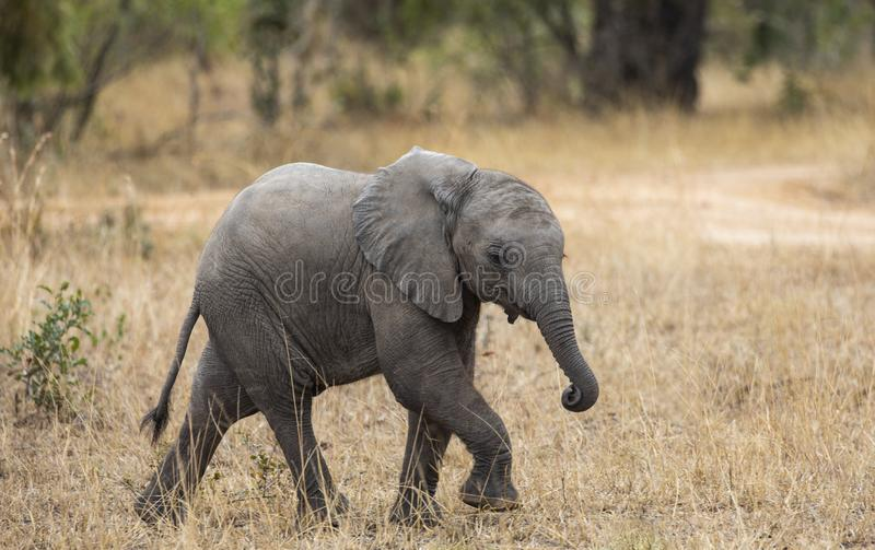 Ritratto alto vicino di profilo dell'elefante del bambino, loxodonta africana, camminando accanto alla strada non asfaltata con e fotografia stock libera da diritti