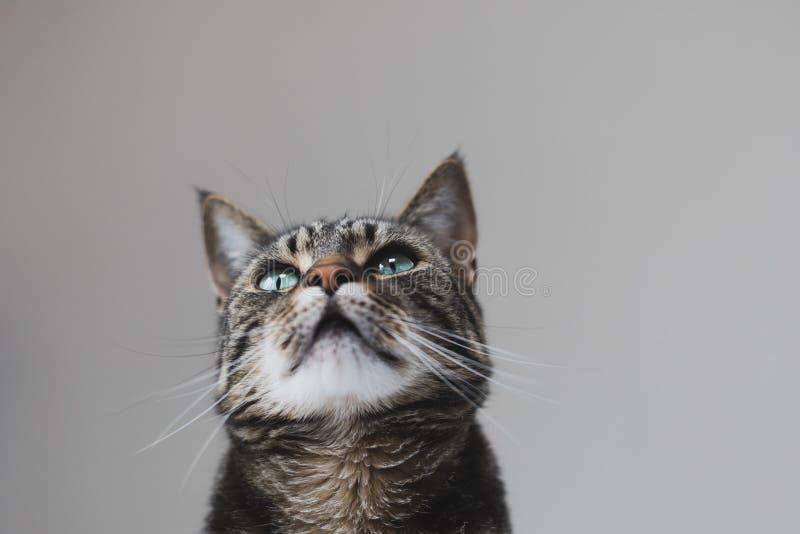 Ritratto alto vicino di un soriano e di un gatto bianco con gli occhi verdi contro un fondo senza cuciture immagini stock