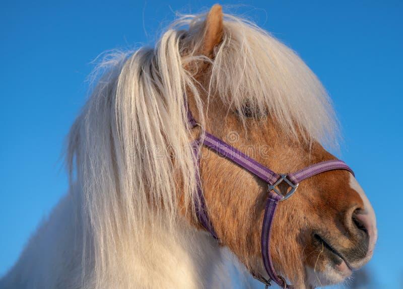 Ritratto alto vicino di uno stallone islandese del cavallo del pinto fotografia stock libera da diritti