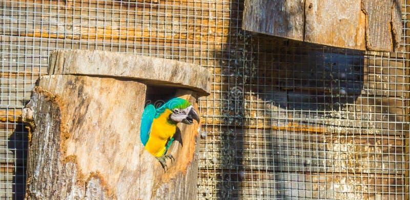 Ritratto animale divertente dell'uccello di un pappagallo dell'ara che guarda dal suo cottage degli uccelli immagine stock