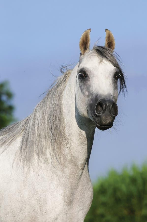 Ritratto arabo bianco del cavallo fotografia stock
