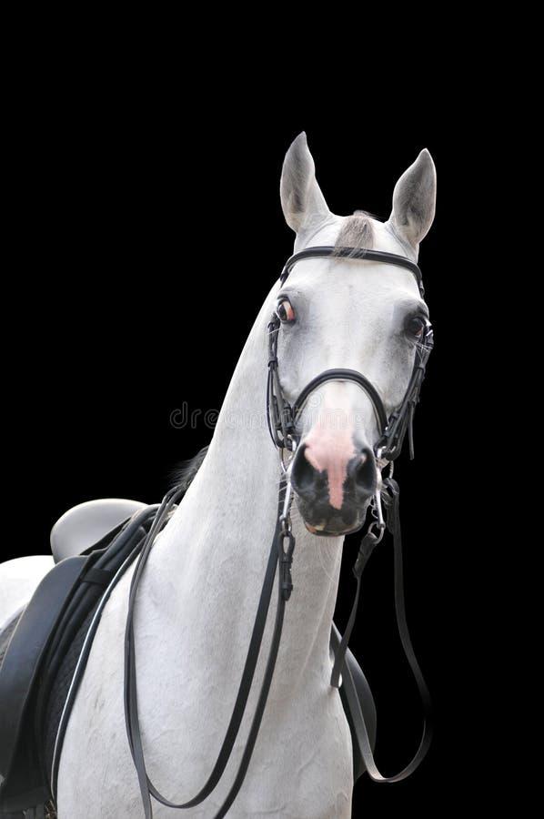 Ritratto arabo del cavallo