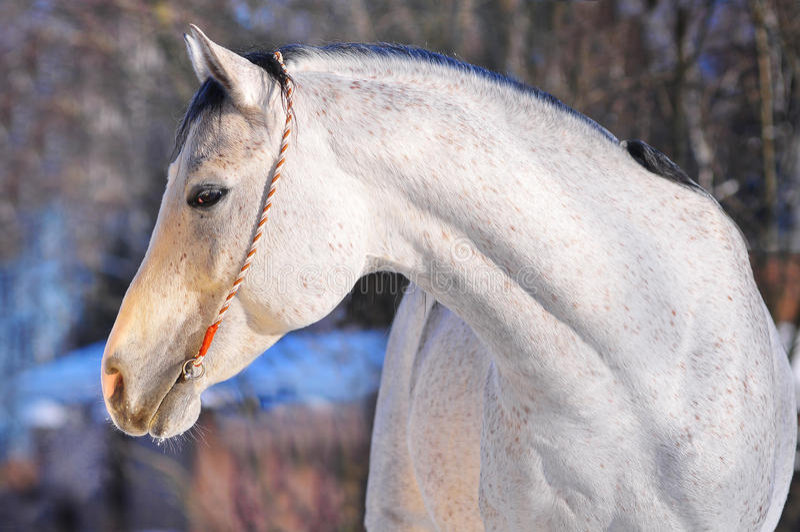 Ritratto arabo del cavallo fotografia stock libera da diritti