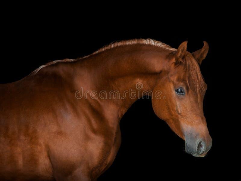 Ritratto arabo del cavallo della castagna su fondo nero fotografia stock libera da diritti