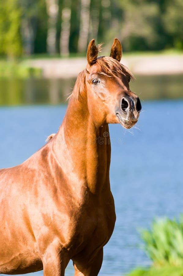 Ritratto arabo dello stallion del cavallo della castagna fotografia stock