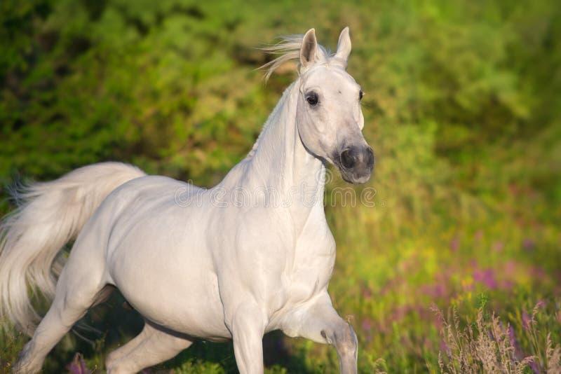 Ritratto arabo dello stallone nel moto fotografie stock libere da diritti