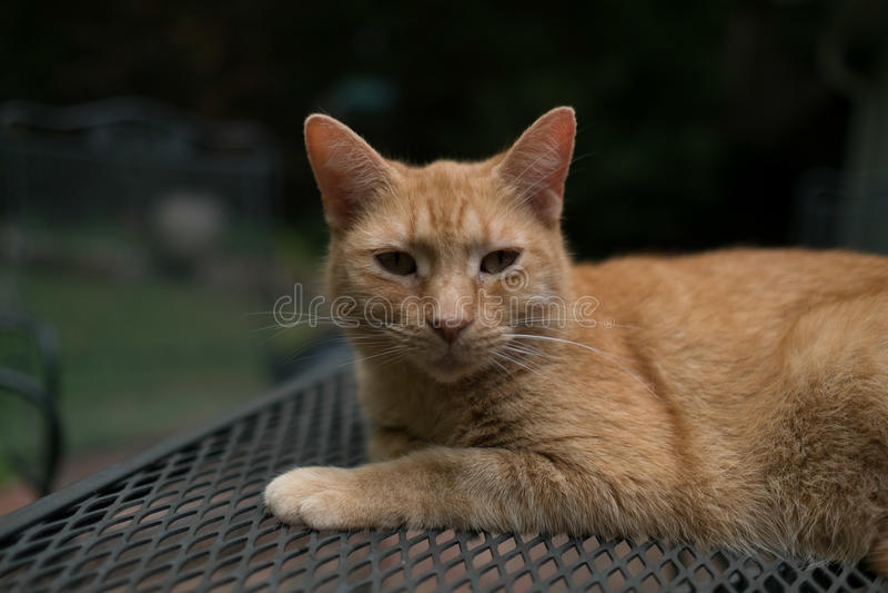 Ritratto arancio dell'animale domestico del gatto di soriano fuori di marmellata d'arance immagini stock