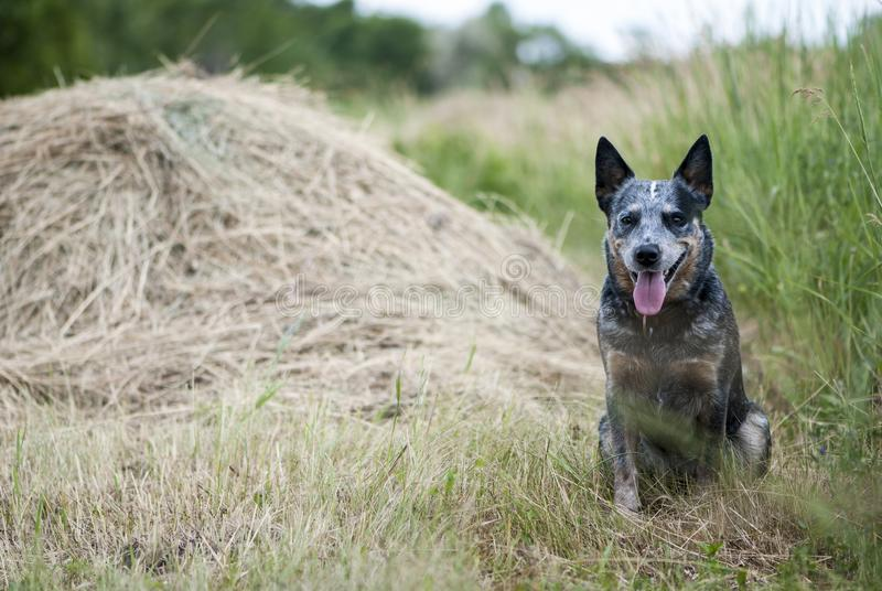Ritratto australiano del cane del bestiame immagini stock