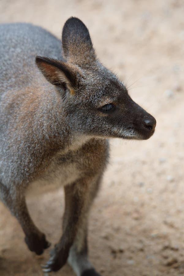 Ritratto australiano del primo piano del canguro immagine stock libera da diritti