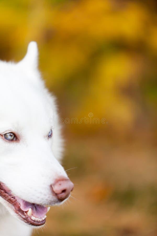 Ritratto bianco del husky siberiano del lato del fronte immagine stock libera da diritti