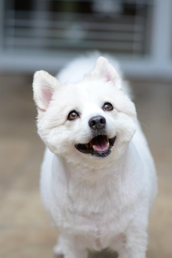 Ritratto bianco del puppie sul pavimento marrone fotografie stock libere da diritti